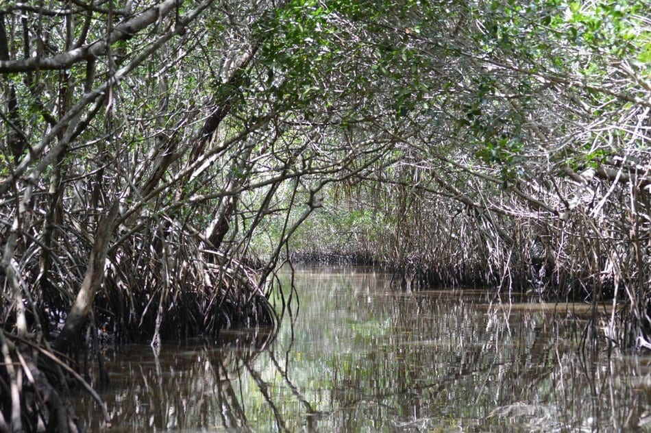 Everglades National Park, foresta di mangrovie